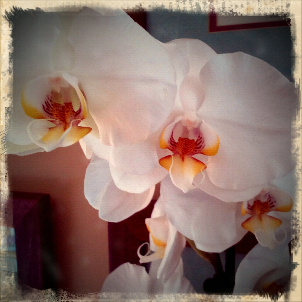 Gilly's Orchid